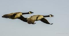 Canada Geese (Bob Gunderson) Tags: birds california canadageese geese heronshead northerncalifornia sanfrancisco brantacanadensis