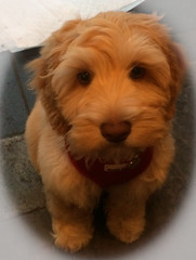 Don't I look cute? (jlw0414) Tags: puppy australianlabradoodle dog toddy photohopexpress