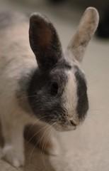 Young bunny girl (Antabus-Antti) Tags: bunny rabbit kani pupu jänis pet animal family