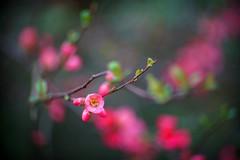 Pink on green . (look to see) Tags: sierappel bloessem japansekwee pink roze kloei lente arboretum bokrijk belgium vintagelens sankor35inchf20 2019