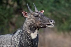 Immature male Nilgai (blue bull)- Boselaphus tragocamelus (Marisa.Ishimatsu) Tags: nilgai bluebull rajasthan boselaphus tragocamelus antelope bovidae