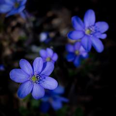 Hepatica time (marinachi) Tags: hepatica hepaticanobilis macro closeup flower flowers spring springflowers blue march