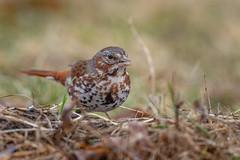 Fox Sparrow-49849.jpg (Mully410 * Images) Tags: bird birdwatching birding foxsparrow backyard birds birder sparrow