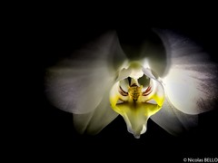 Orchid in the night (NICOLAS BELLO) Tags: art colors luminosity lumiere nature plant france flower beautiful luminosite amazing plantes night fleurs faces orchidee flowers light face huawei fleur beauty