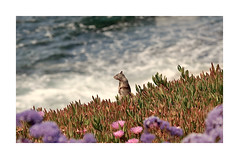 Sammy Remembered (The Spirit of the World ( On and Off)) Tags: squirrel sammy ocean sea iceplant flowers waves pacificocean rocks foam lajolla sandiego california hillside seascape cliffs ngc