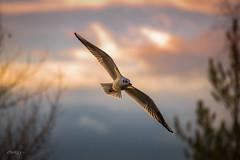 Sunset Seagul (deltic17) Tags: sunset seagul bird countryside