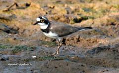 IMG_1386 Little Ringed Plover (Charadrius dubius) (vlupadya) Tags: greatnature bird animal aves fauna indianbirds little ringed plover charadrius kundapura karnataka