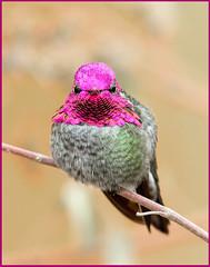 Anna's (Ed Sivon) Tags: america canon nature lasvegas wildlife wild western southwest desert clarkcounty vegas flickr red bird henderson nevada