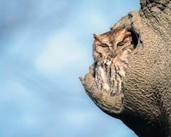 HomeForChristmas (jmishefske) Tags: 2018 december d850 nikon owl bird wisconsin stfrancis seminary eastern tree beech screech
