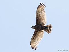Brown Snake-Eagle (npaprock) Tags: bird raptor mpumalanga southafrica africa circaetuscinereus circaetus brownsnakeeagle snakeeagle