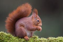 Ecureuil roux (guiguid45) Tags: nature sauvage animaux mammifères forêt bois loiret d810 500mmf4 nikon écureuilroux squirrel eurasianredsquirrel affût