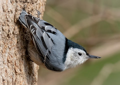 Iconic Nuthatch Pose (tresed47) Tags: 2019 201901jan 20190110homebirds birds chestercounty content folder home january nuthatch pennsylvania peterscamera petersphotos places season takenby us whitebreastednuthatch winter