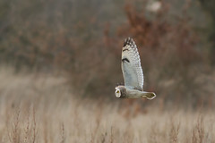 Passing SEO (PINNACLE PHOTO) Tags: seo owl meadow asioflammeus sitting eye squint bird feathered birdofprey raptor shortearedowl morning light longwing silent spring flight feather eyes wide kent martinbillard