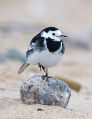 Pied Wagtail pose (tobyhoulton) Tags: pied wagtail bird wildlife nature coast beach toby houlton nikon d7200