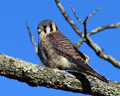 DSC_9165.jpg=011419-Kestrel (laurie.mccarty) Tags: americankestrel bird hawk raptor animal sky tree nature wildlife