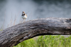 "Killdeer (Catherine ""Cat"" Rose) Tags: 2018 may tualatinnationalwildliferefuge killdeer"