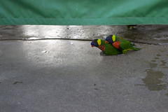 In Love (evaxebra) Tags: long beach aquarium pacific aquariumofthepacific california dawn january 2019 lorikeet bird birds green red yellow feed feeding lorikeets sex love humping copulating action