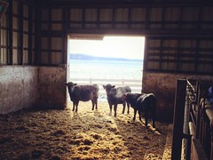 Hungry girls - Melancthon, ON (jessalynn_sammons) Tags: iphone canadianfarm chores barn farm cattle cold winter