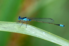 Damselfly (Nature's Image Photography) Tags: damselfly insect nature macro