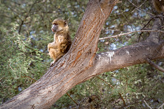 "On Lookout _5572 (hkoons) Tags: chobenationalpark firstbridge magweegate mbomaisland southernafrica thirdbridge africa botswana magwee monkey tree ancestor animal arbor beast biped bloom blossom branch branches bud buds canopy color family flora flower green group growth humanlike leaf leaves limb limbs mammal monkeys outdoors pack panorama primate roots soil stem sun sunshine trees trunk ""moremigamereserve"