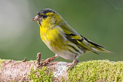 DSC4266 (2)  Siskin.. (Jeff Lack Wildlife&Nature) Tags: siskin siskins farmland finch finches birds avian animal animals wildlife wildbirds woodlands wildlifephotography jefflackphotography forest forestry pineforest trees gardenbirds conifer songbirds countryside nature