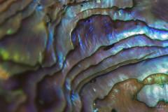 Northern lights (eMMa_bOOm) Tags: abalone shell newzealand macromondays iridescent abstract themebased bluemonday picktwo