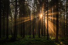 forest series #247 (Stefan A. Schmidt) Tags: forest tree trees germany sun sunlight sunbeam green golden ethereal scenic