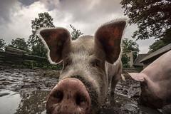 pigs in mud (dopol50) Tags: varken pig dirt closeup