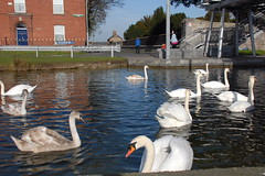 Swans @ The Bosco (eigjb) Tags: dublin ireland city 2019 swans grand canal drimnagh goldenbridge inchicore birds water swan irish wildlife stjohnbosco centre thebosco davitt road