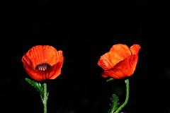 Pavot IMG_0998 (Paul_Paradis) Tags: blossom fleur flora floral flower summer ete garden jardin plant plante nature pavot poppy canada quebec natural iledorleans