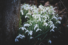 Snowdrops (Explored) (eskayfoto) Tags: canon eos 700d t5i rebel canon700d canoneos700d rebelt5i canonrebelt5i flower flowers spring february winter sk201902146162editlr sk201902146162 lightroom quarrybankmill styal tree cheshire nature galanthus