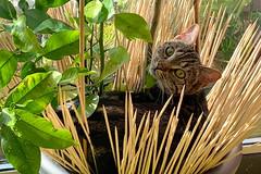 Cat in pose (Ron van Zeeland) Tags: cat cats poes poezen katten kitten pets citroenboom plant animal bengalcat bengaalsekat bengaal bengali