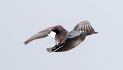 7K8A1089 (rpealit) Tags: scenery wildlife nature edwin b forsythe national refuge brigantine gadwall duck burd