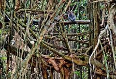 INDONESIEN, Bali , unterwegs in Ubud , im Affenwald , Banyanbäume, Affen und Skulpturen, 17934/11156 (roba66) Tags: bali urlaub reisen travel explore voyages rundreise visit tourism roba66 asien asia indonesien indonesia insel island île insulaire isla ubud affenwald padangtegal monkeyforest monkey affen javaneraffen makaken macaca wild macaque balinese longtailed tier tiere animal animals creature jardin giardini park nature natur naturalezza baum bäume tree trees arbes arboles alberi wald forest banyanbaum dschungel urwald jungle