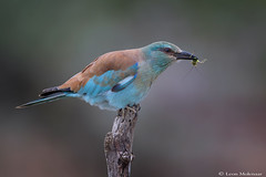 European Roller with prey (leendert3) Tags: leonmolenaar southafrica krugernationalpark wildlife nature animals birds europeanroller naturethroughthelens ngc coth5 npc