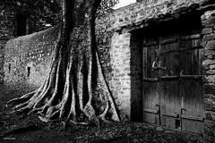 A través del muro (KRAMEN) Tags: wall muro árbol pared puerta tree gondar etiopía stone