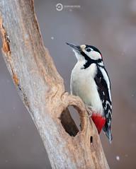Great Spotted Woodpecker (Dendrocopus major) (Ouroboros Photography) Tags: avian białowieża bird cold dendrocoposmajor europe feathers greatspottedwoodpecker marekkosinski nationalforest nature poland snow wildforestpl wildlife winter woodpecker