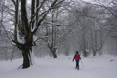 Basoan barrena (Paulo Etxeberria) Tags: pagadia hayedo beechforest hêtraie basoa bosque forest forêt elurra nieve snow neige mendizalea montañera hiker randonneur lainoa niebla mist brouillard albertia legutio legutiano