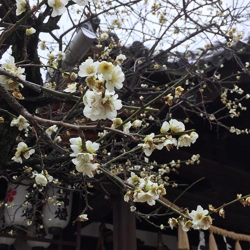 神社の白梅