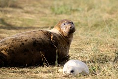 Grey Seal with pup (R.Miller1979) Tags: donnanook greyseal wildlife wildlifetrust lincolnshire sea beach coast nature environment mammal brown green winter naturereserve