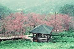 Nikon FM2 / KODAK 250T (Masatada Ho) Tags: taichung taiwan 風格 櫻花 台灣 底片 fm2 nikon kodak light life sakura film
