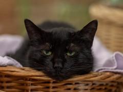 Monday again.... (Jana`s pics) Tags: cats katzen haustier hauskatze pet animals tiere animalphotography tierfotografie tierschutz blackcat