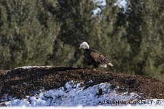 bald eagle (Green-eyed wonder) Tags: bald eagle bird birdsofprey baldeagle