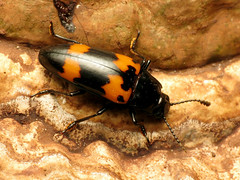 Giant Pleasing Fungus Beetle (treegrow) Tags: rockcreekpark washingtondc nature lifeonearth raynoxdcr250 arthropoda insect beetle coleoptera erotylidae megalodacneheros