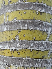 Half Moon Cay, Bahamas, Day 4 -- Caribbean Cruise Vacation, Nature Walk, Palm Tree Trunk, Abstract (Mary Warren 12.9+ Million Views) Tags: bahamas halfmooncay caribbean cruise hollandamerica veendam nature flora plants green tree palmtree trunk pattern abstract