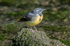 DSC8216  Grey Wagtail... (Jeff Lack Wildlife&Nature) Tags: greywagtail wagtail wagtails birds avian animal animals wildlife wildbirds wetlands waterbirds waterways wildlifephotography jefflackphotography reservoirs riverbirds rivers streams riverbanks countryside nature