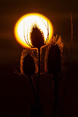 Thistle in the sun. (photoautomotive) Tags: newhaven eastsussex england uk europe sunrise sun thistle plant sky glow goldenlight golden silhouette canon canon35350l 7d canon7d