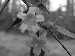 Carolina Jessamine In Black & White. (dccradio) Tags: lumberton nc northcarolina robesoncounty outdoor outdoors outside nature natural flower floral flowers sky plant vine foliage leaf leaves carolinajessamine bloom blooming spring springtime march friday fridayevening evening fridaynight canon powershot elph 520hs blur blurred blurry bw blackandwhite blackwhite