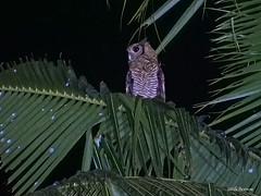 Fraser's Eagle-Owl Bubo poensis (nik.borrow) Tags: bird owl ghana