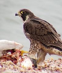 Peregrine Falcon (caboose_rodeo) Tags: 173536 bird stratfordct longislandsound birdofprey digiscope